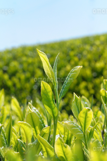 茶畑と新芽の写真素材 [FYI01601672]