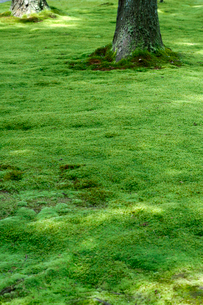 杉の木と苔の写真素材 [FYI01602064]