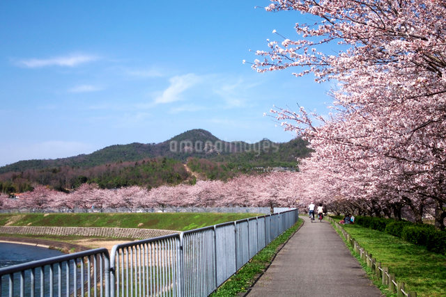 武庫川沿いの桜並木の写真素材 [FYI01602381]