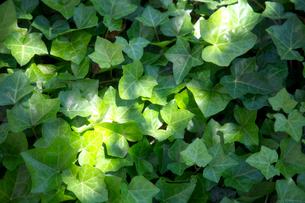 木漏れ日のあたる蔦の葉の写真素材 [FYI01602571]