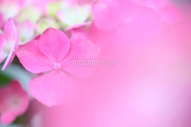 ピンクの紫陽花の写真素材 [FYI01602646]