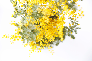 ミモザの花の写真素材 [FYI01602949]