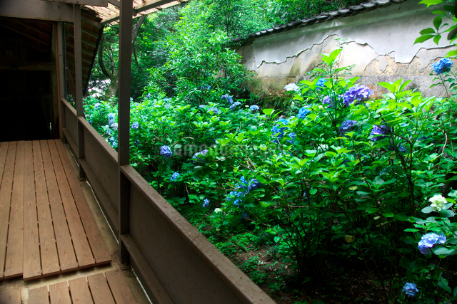 柳谷観音立願山楊谷寺の紫陽花の写真素材 [FYI01603136]