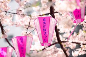 目黒川と桜の写真素材 [FYI01603622]