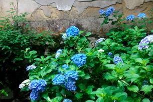 柳谷観音立願山楊谷寺の紫陽花の写真素材 [FYI01603717]