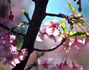 三浦の河津桜まつりの写真素材 [FYI01603944]
