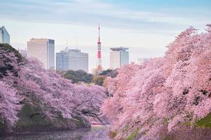 千鳥ヶ淵の桜の写真素材 [FYI01604026]