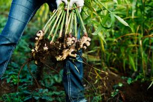ショウガの収穫の写真素材 [FYI01604042]