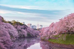 千鳥ヶ淵の桜の写真素材 [FYI01604055]