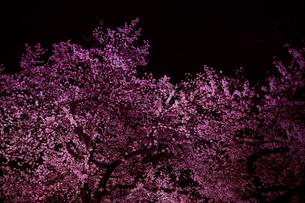 千鳥ヶ淵の桜の写真素材 [FYI01604327]