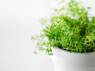 観葉植物と白い植木鉢の写真素材 [FYI01604338]