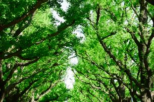 イチョウ並木の写真素材 [FYI01604368]