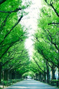 イチョウ並木の写真素材 [FYI01604505]