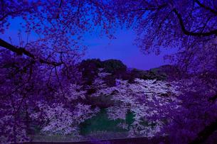千鳥ヶ淵の桜の写真素材 [FYI01604706]