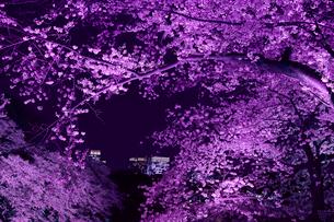 千鳥ヶ淵の桜の写真素材 [FYI01604832]