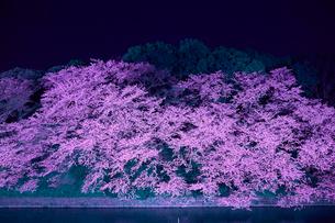 千鳥ヶ淵の桜の写真素材 [FYI01604841]