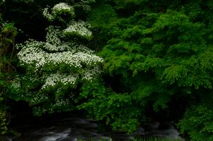 新緑とヤマボウシの写真素材 [FYI01604876]