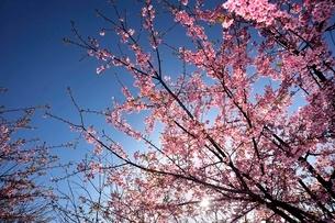 三浦の河津桜まつりの写真素材 [FYI01604888]