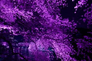 千鳥ヶ淵の桜の写真素材 [FYI01605022]