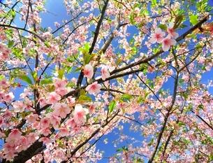 三浦の河津桜まつりの写真素材 [FYI01605273]