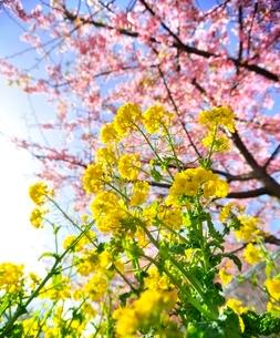 三浦の河津桜まつりの写真素材 [FYI01605367]