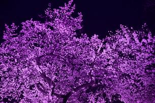 千鳥ヶ淵の桜の写真素材 [FYI01605461]