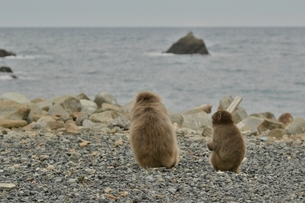 海を見る猿の写真素材 [FYI01605468]