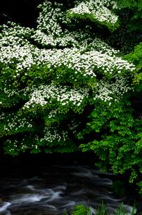 渓流に咲くヤマボウシの写真素材 [FYI01606071]