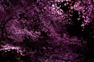 千鳥ヶ淵の桜の写真素材 [FYI01606349]