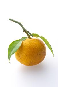 柚子の写真素材 [FYI01606637]
