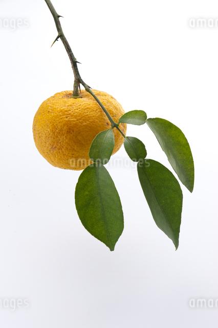 柚子の写真素材 [FYI01606660]