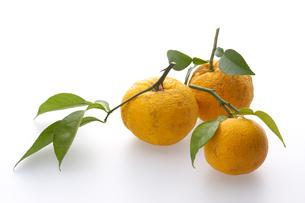 柚子の写真素材 [FYI01606689]
