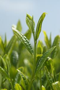 茶畑の写真素材 [FYI01606763]