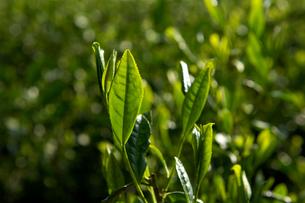 茶畑の写真素材 [FYI01606802]