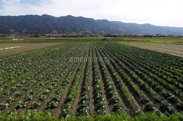 北野町のキャベツ畑より望む耳納連山の写真素材 [FYI01606824]