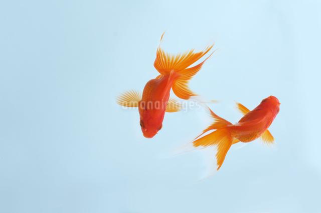金魚の写真素材 [FYI01607119]