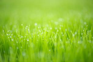 稲の苗の写真素材 [FYI01607720]