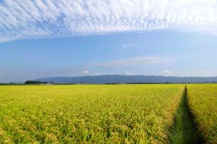稲穂と耳納連山の写真素材 [FYI01607812]