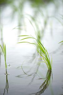 稲の苗の写真素材 [FYI01607988]