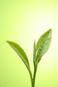 茶葉の写真素材 [FYI01608130]