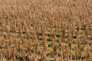 大豆畑の写真素材 [FYI01608390]