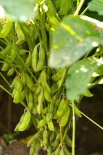 大豆の写真素材 [FYI01608462]