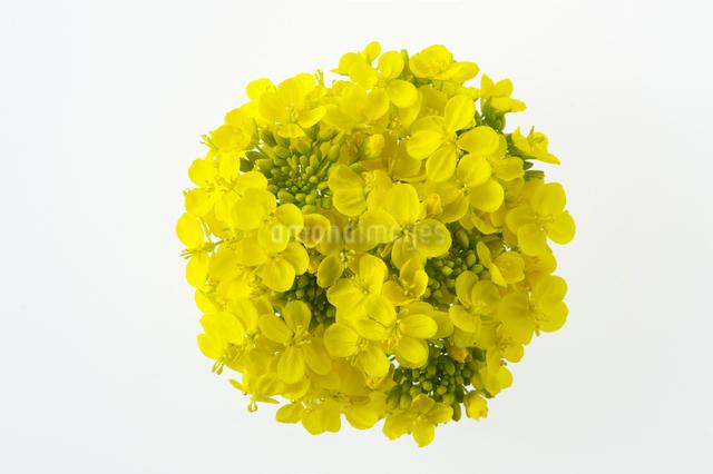 菜の花の写真素材 [FYI01608480]