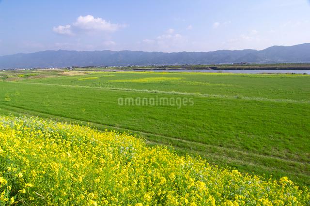 筑後川河川敷の菜の花と耳納連山の写真素材 [FYI01608590]