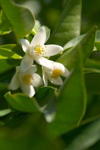 柚子の花の写真素材 [FYI01608661]