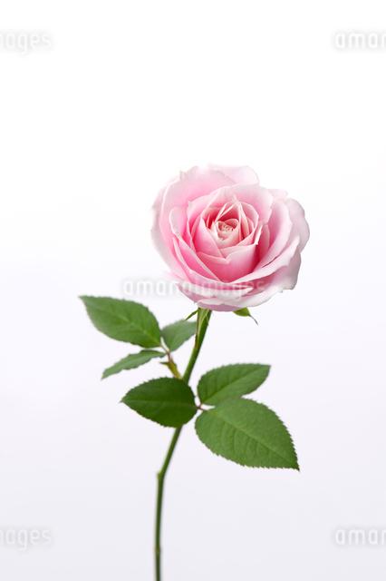 薔薇の写真素材 [FYI01608662]