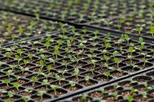 レタスの苗の写真素材 [FYI01608749]
