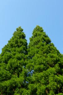 杉の写真素材 [FYI01608824]