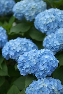 紫陽花の写真素材 [FYI01608918]