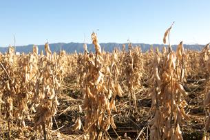 大豆畑の写真素材 [FYI01609285]